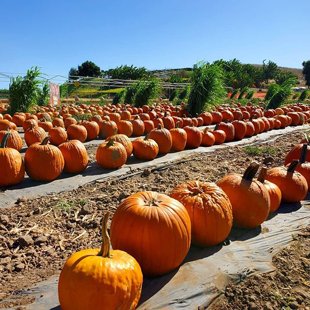 Tanaka Farms Pumpkins